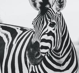 Zebra Captions